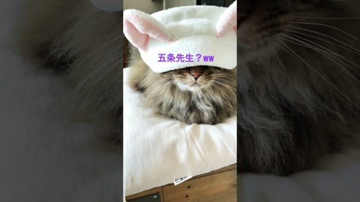 #shorts #cat #ねこ #呪術廻戦 #五条悟 #領域展開  ウチの五条悟が可愛すぎたww