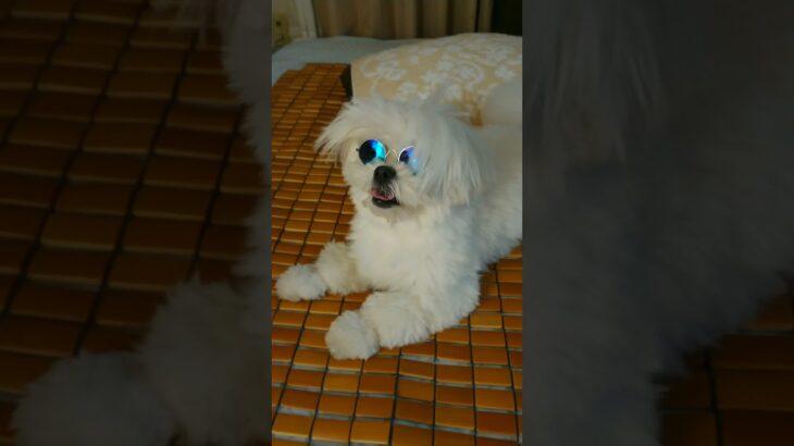 【呪術廻戦】ぺ五条サトリーノなペコリーノ・ロマーノ(犬)
